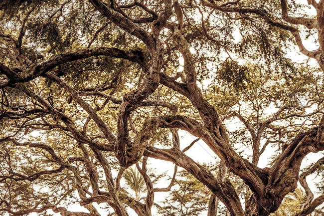 Gnarled tree in Oahu, Hawaii