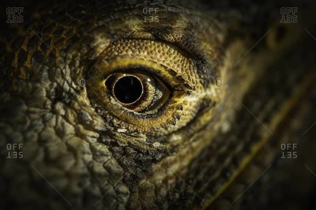 Close up of an eye of a central bearded dragon