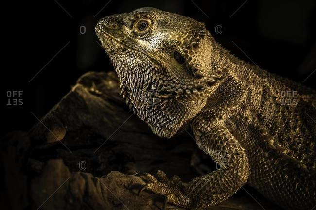 Portrait of a central bearded dragon