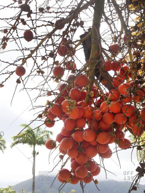 Fruits of a banyan tree