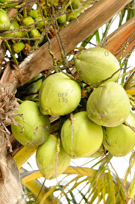 Close up view of coconuts hanging from tree, Aruba, Caribbean