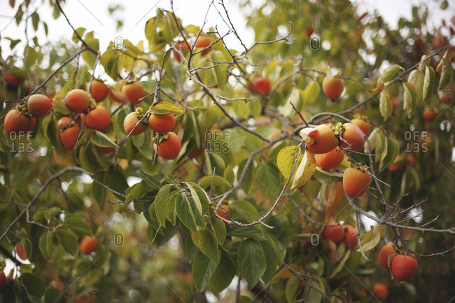 Fruits of a persimmon tree