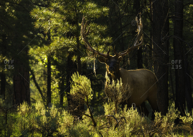 """A bull elk, also known as a wapiti, in the forest on the South Rim of Grand Canyon National Park in Arizona. His antlers are shedding their protective """"velvet."""""""