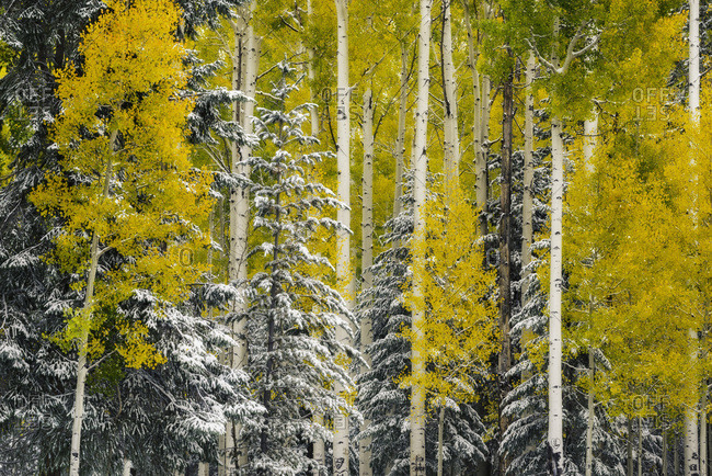 Fall in the forests near the Arizona Snowbowl ski area
