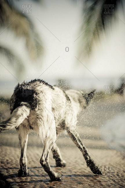A dog vigorously shakes off water after a dip in the pool.