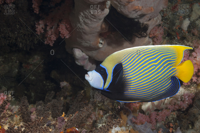 Emperor angelfish on a coral reef off the island of Nusa Penida, near Bali.