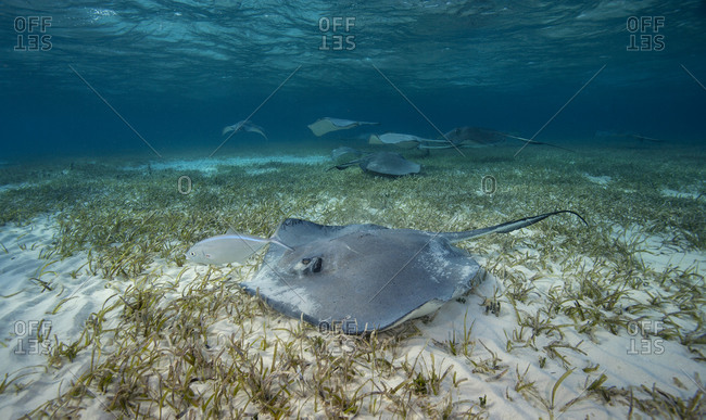 Southern stingrays, Dasyatis americana, glides over the sand in search of buried crustaceans, Grand Cayman, British West Indies