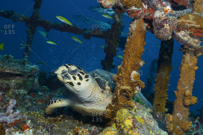 A Hawksbill turtle (Eretmochelys imbricata) on the deck of the Duane shipwreck, Key Largo, Florida