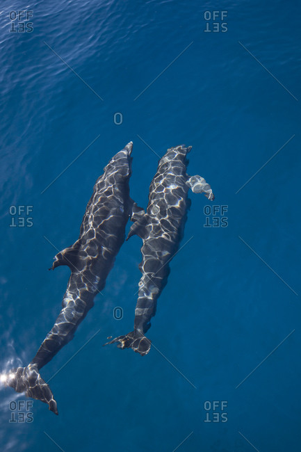 Atlantic bottlenose dolphin (Tursiops truncatus) seen at the water's surface on a calm day.