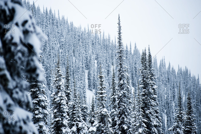 Snow-covered pine trees, Nelson, British Columbia.