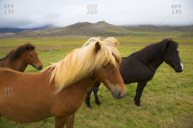 Iceland standing ponies in wind