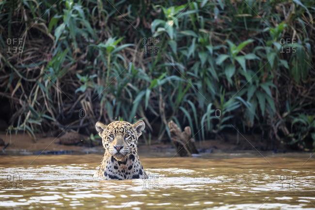 South America, Brasilia, Mato Grosso do Sul, Pantanal, Cuiaba River, Jaguar, Panthera onca, in water