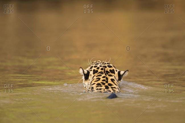 South America, Brasilia, Mato Grosso do Sul, Pantanal, Cuiaba River, Jaguar, Panthera onca, swimming, back view