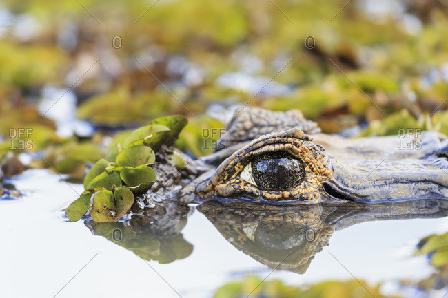 South America, Brasilia, Mato Grosso do Sul, Pantanal, Yacare caiman, Caiman yacare, eye, close-up