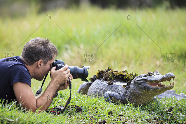 South America, Brasilia, Mato Grosso do Sul, Pantanal, Photographer and a Yacare caiman, Caiman yacare