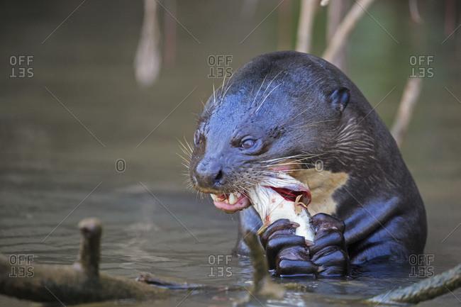 South America, Brasilia, Mato Grosso do Sul, Pantanal, Cuiaba River, European otter, Lutra lutra, with fish