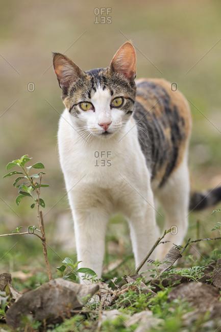 Brazil, Mato Grosso do Sul, Pantanal, Domestic cat