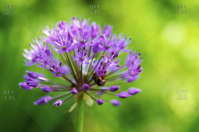 Great lilac-purple spherical allium, Allium hollandicum