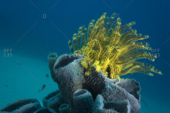 Philippines, Pacific Ocean, Busuanga, Variable bushy feather star on tube sponge
