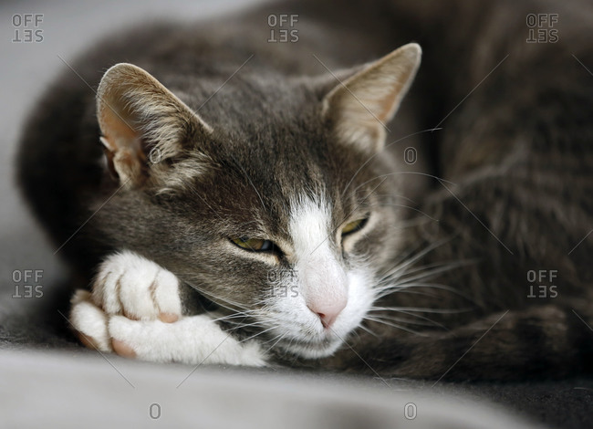 Portrait of tabby cat with half-opened eyes
