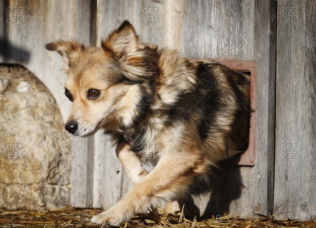 Portrait of puppy passing through cat flap
