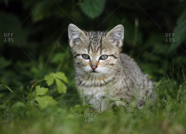 Portrait of tabby kitten sitting in grass