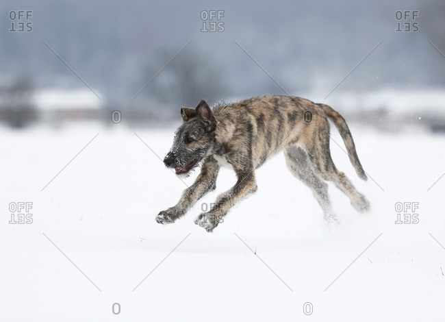 Irish Wolfhound puppy (Canis lupus familiaris) running on snow-covered meadow