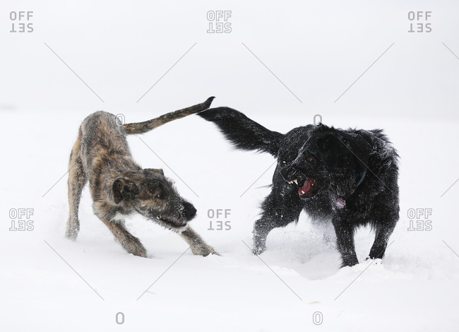 Irish Wolfhound puppy and black mutt (Canis lupus familiaris) playing together on snow-covered meadow