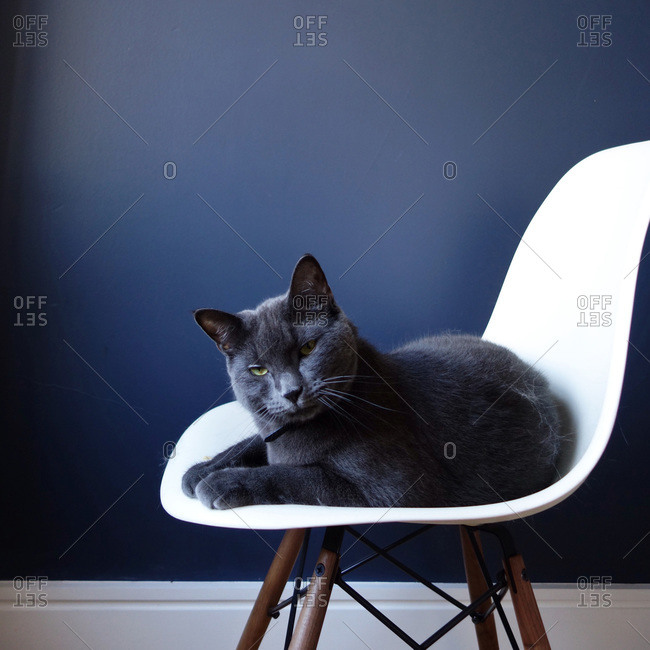 Gray cat resting on a chair