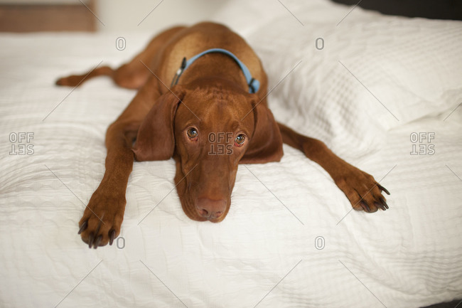 Dog lying down on a bed
