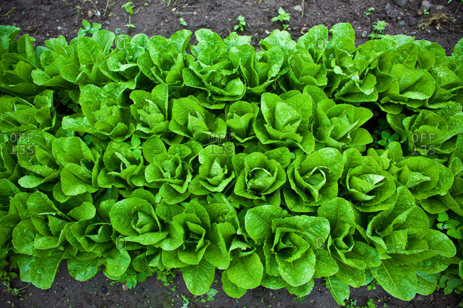 Freshly planted lettuce seedlings - Offset