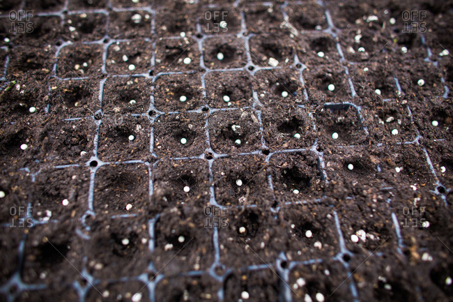 Seeds in a seedling tray