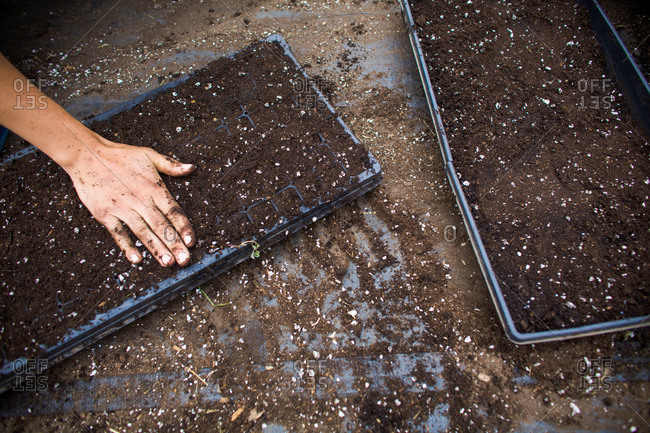 Planting seeds in a seedling tray