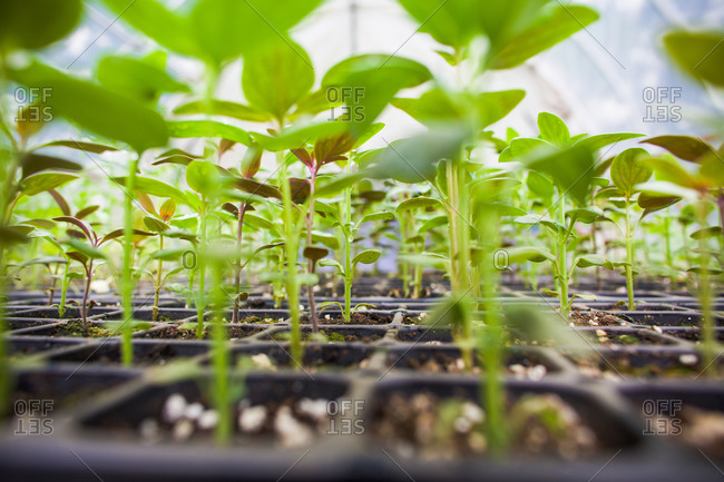 Newly sprouted seedlings in a greenhouse