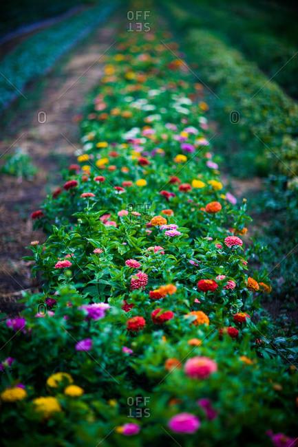 A row of zinnia flowers in a field