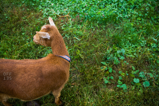 A goat walking in field