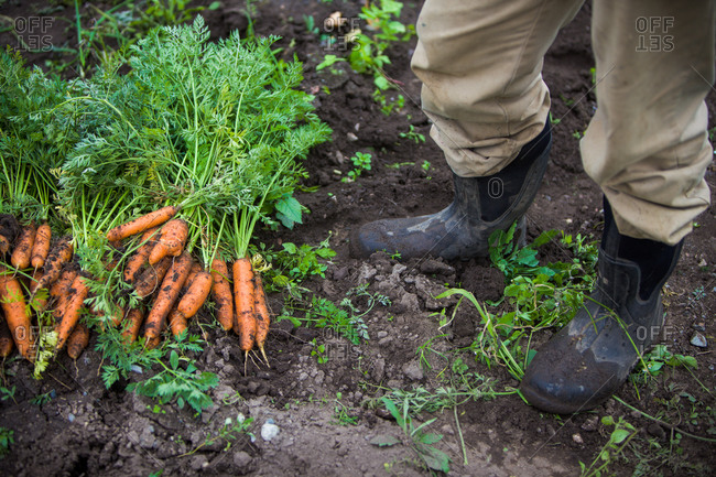 Farmer standing by freshly picked carrots on farm