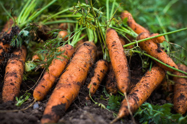Close up of freshly picked carrots