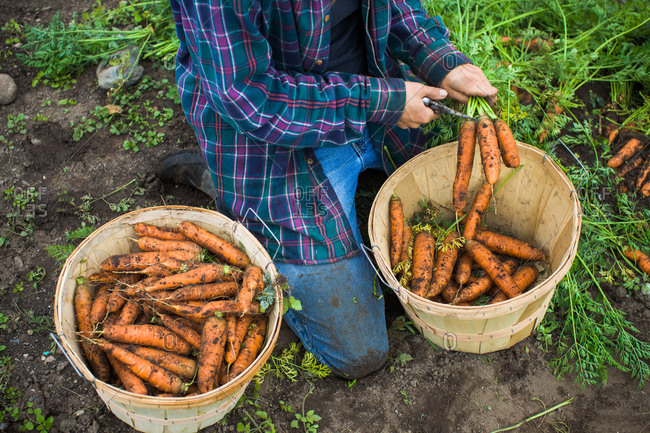 A farmer prepares freshly picked carrots for sale
