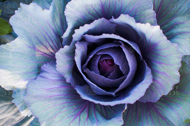 Close up of blue cabbage