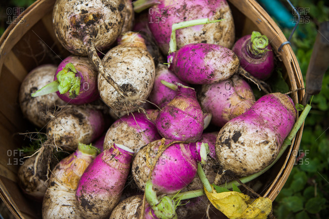 A basket of freshly picked turnip