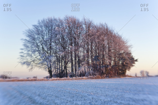 Copse of trees in snow and frost