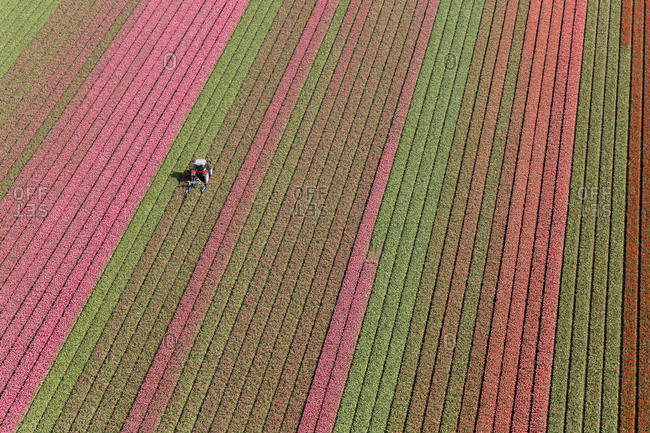 Tractor in tulip fields