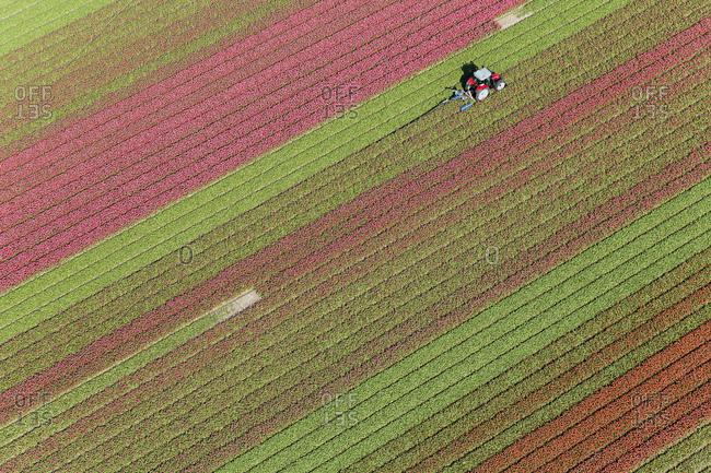 Tractor in tulip fields