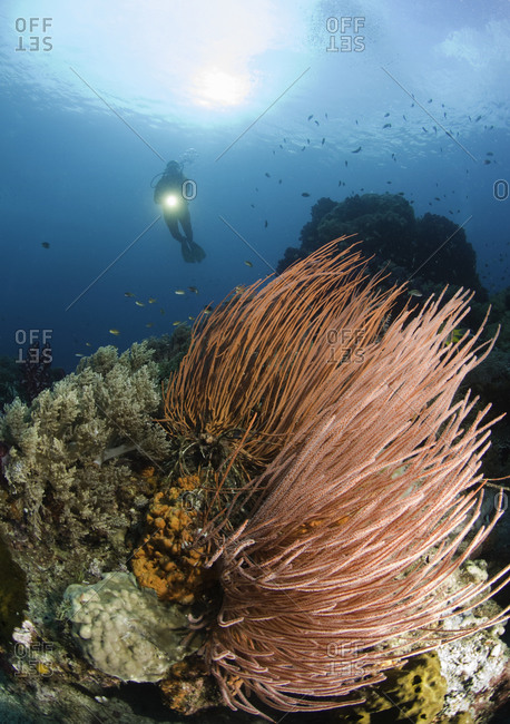 Female scuba diver exploring the coral reef, Raja Ampat, Indonesia