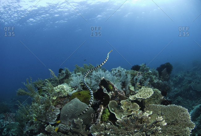 Banded sea snake (Laticauda colubrina), coral reef, Raja Ampat, Indonesia