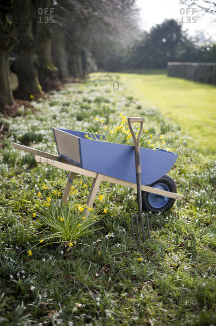 Daffodil flowers growing in wheelbarrow
