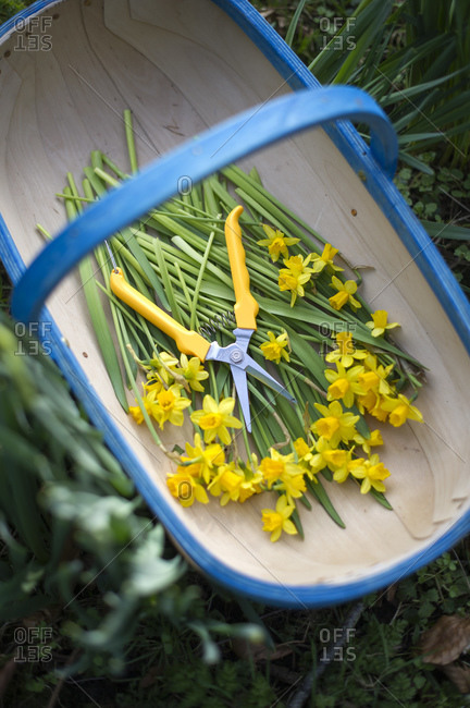 Cut narcissus flowers and garden pruners in basket