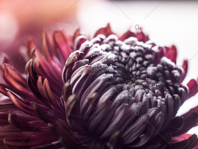 Close up of a red chrysanthemum flower