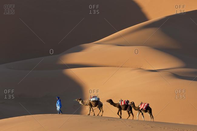 Erg Chebbi, Sahara Desert, Morocco - March 17, 2011: Tuareg man leading camel train, Erg Chebbi, Sahara Desert, Morocco